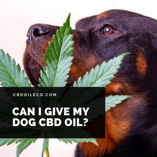 CBD For Dogs – Can I Give My Dog CBD Oil